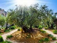 Jardim do Gethsêmani - Jerusalém - Israel